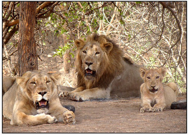 Asiatic Lions sanctuary